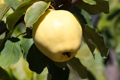 Juicy and ripe quince hanging on a branch organicity nature naturalness. Juicy raw ripe quince fruit on tree, organicity. Nature, gardening Stock Image