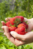 Juicy and ripe strawberry in the hands Royalty Free Stock Image