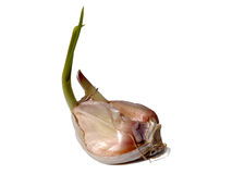 Juicy slice of garlic on a white background Royalty Free Stock Photos