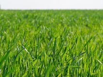 Juicy spring grass on the field - background. Freshness green. Juicy grass on the field against sun - background. Freshness green stock images