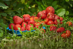 Juicy strawberries in the garden Royalty Free Stock Photos