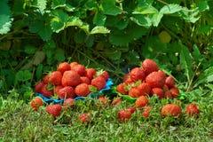 Juicy strawberries in the garden Stock Photos