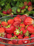 Juicy strawberry fruit. Fresh strawberry in crystal glass bowl Royalty Free Stock Photography