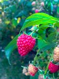 Juicy,taste,beautifull raspberry stock photography