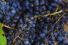 Juicy tasty dark grapes Stock Photo