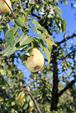 Juicy yellow pear on a branch Stock Photography