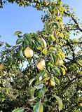 Juicy yellow pears on branches Royalty Free Stock Photos