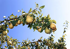 Juicy yellow pears on branches Stock Image