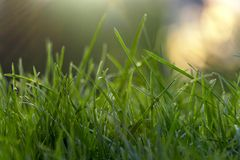 Juicy young grassy grass close-up Royalty Free Stock Photography