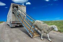 17 juillet 2016 - les propriétaires d'un ranch de moutons déchargent des moutons sur le MESA de Hastings près de Ridgway, le Colo Images stock