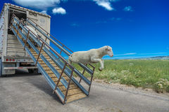 17 juillet 2016 - les propriétaires d'un ranch de moutons déchargent des moutons sur le MESA de Hastings près de Ridgway, le Colo Images libres de droits