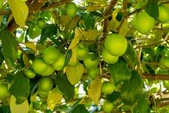 Jujub owoc na drzewach Obrazy Royalty Free
