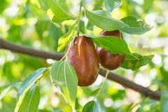 Jujube αληθινό, capiinit, κινεζική ημερομηνία lat Το jujuba Ziziphus είναι φρούτα σε έναν κλάδο Στοκ Εικόνες