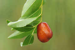 Jujube Royalty Free Stock Photography