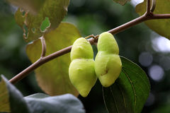 Jujube fruit Royalty Free Stock Photo
