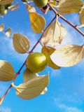 Jujube. Fruit and leaves light a mild the morning a clear Stock Images