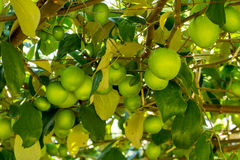 Free Jujube Fruits On Trees Royalty Free Stock Images - 68820739