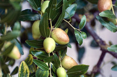 Jujube green Stock Images