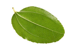 Jujube leaf Stock Photography