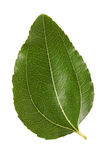 Jujube leaf Stock Images