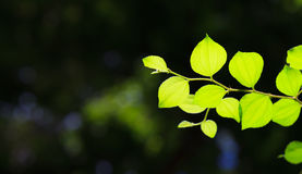 Jujube leaves. Stock Photography