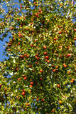 Jujube rich harvest on a tree Royalty Free Stock Images