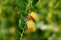 Jujube small deciduous tree with shiny green ovate acute leaves and light green edible fruit growing in local garden on warm sunny. Jujube small deciduous tree stock photography