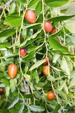 Jujube tree Stock Images