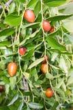 Jujube tree. Jujube ,ziziphus zizyphus, fruit tree of mediteranean countries Stock Images