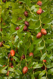 Jujube tree Royalty Free Stock Photos