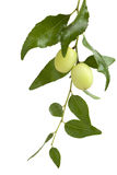 Jujube on the tree Stock Images