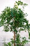 Jujube tree Royalty Free Stock Photo