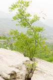 The jujube tree grows in crevices. Rock looks like a tree root support bifida stock photo