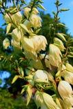 Juka está florescendo no jardim no verão Imagem de Stock Royalty Free