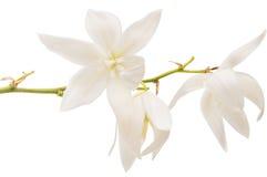 Jukka kwiat odizolowywający Zdjęcie Stock