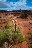 Jukki rośliny okwitnięcia Escalante parka narodowego Utah krajobraz Fotografia Royalty Free