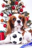 Jul dog firar jul med trädet på studio Julstruntsaken smyckar glass bollar och den stolta konungen charles Royaltyfri Bild