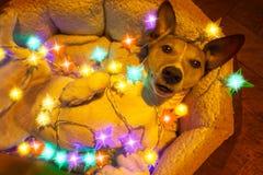 Jul dog med felika ljus Arkivfoto