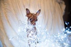 Jul dog på sängen med den röda halsduken Royaltyfria Foton