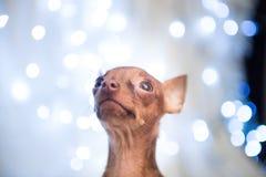 Jul dog på sängen med den röda halsduken Royaltyfri Foto