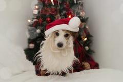 Jul Santa Dog SKÄGG FÖR VALP FÖR STÅLAR RUSELL BÄRANDE, RED HAT A royaltyfria foton
