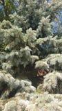 Jul trädet som isoleras, vit, bakgrund, xmas, gran, gräsplan, ferie, vintern, säsong, sörjer, säsongsbetonat, garnering som är gl Arkivbilder