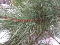 Jul trädet som isoleras, vit, bakgrund, xmas, gran, gräsplan, ferie, vintern, säsong, sörjer, säsongsbetonat, garnering som är gl Royaltyfria Foton
