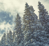 Julbakgrund med snöig granträd Royaltyfri Fotografi