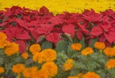 Julblomma och krysantemum Arkivfoto