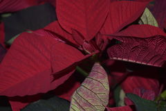 Julblomma Växten som blomstrar för jul Royaltyfri Foto