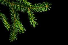 Julen spruce filialen arkivbild
