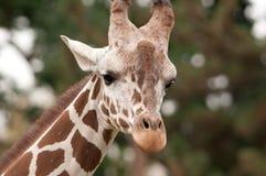 Jules la giraffe Photos libres de droits