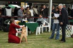 Julgamento no dogshow para sharpeis Fotografia de Stock