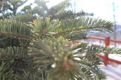 Julgran i ljuset av den varma solen Jullock royaltyfri bild